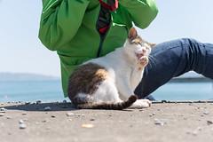 田代島 にとじ (GenJapan1986) Tags: 2016 ネコ 動物 太平洋 宮城県 東北地方 海 田代島 石巻市 離島 日本 nikond610 island tashirojima japan miyagi animal cat sea pacificocean