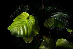 Rainforest Foliage (mp13 nhnc) Tags: lushfoilage leaves vines green shadows light black bokeh longwoodgardens