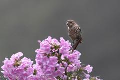 Sitting pretty (dbifulco) Tags: hofi bird female flowers housefinch nature newjersey nikkor300f4pfed pinkphlox wildlife yard