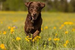 Happy, Happy, Happy (KB RRR) Tags: labrador retriever chocolatelabrador shyla