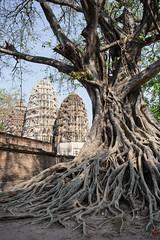 Bien enracin (Ye-Zu) Tags: tree temple thalande arbre sukhothai thailande pagode worldtour tambonmueangkao changwatsukhothai