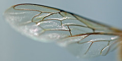 Tiny Hairs On Wasp Wing (1selecta) Tags: micro closeup near detail hair hairs wing pattern fragile fragility delicate wasp segment segments segmented transparent transparency