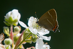 Immersed in a flower (Tim Melling) Tags: satyrium walbum strymonidia whiteletter hairstreak butterfly shepley west yorkshire timmelling