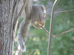 Eavesdropping (pirate johnny) Tags: squirrel yard minnesota summer
