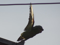 DSC05135 (familiapratta) Tags: sony dschx100v hx100v iso100 natureza pssaro pssaros aves nature bird birds novaodessa novaodessasp brasil