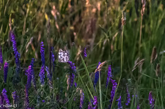 Papillon... sur fleurs des champs. (Crilion43) Tags: france vreaux divers animauxdivers papillon jardin centre canon paysage insectes bourdon cher abeille brouillard chenille gupe herbe nature rflex