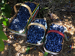 Early this morning, went to a farm, to pick blueberries (glantine) Tags: bleu bleuets blue blueberries t summer ontario wonder cathcart