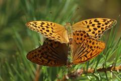 Silver-washed fritillary (liisatuulia) Tags: porkkala butterfly perhonen keisarinviitta argynnispaphia silverwashedfritillary couple