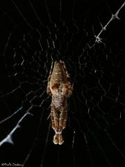 Uloborus spider 2 (Geminiature Nature+Landscape Photography Mallorca) Tags: uloborus uloboridae ulobridos spiders araas spinnen mallorca kaskaardespinnen wielwebkaardespinnen araneae macro raynox250 raynox dcr250 dcr 250 super espaa spain spanje balearen balearics balear