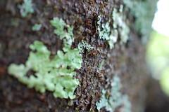 (moonwatcher13) Tags: tree bark lichen statebeach vinalhaven maine d40