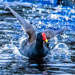 Happy Slider Sunday (Steve-h) Tags: hss happyslidersunday natureleza natura nature natur bird aquaticbird swim swimmer swimming moorhen action water spray drops waterdrops pond lake park bushypark dublin ireland europe eu colour colours red yellow blue black white lightroomcc graduatedfilter mistake accident digital exposure ef eos canon camera telephoto zoom lens spring march 2016 steveh