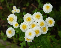 Bridesmaids (Goruna) Tags: flowers plants garden bridesmaids goruna whiteflower tanacetumparthenium mutterkraut chrysanthemumparthenium feverfew