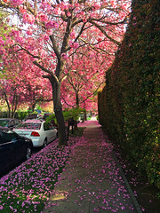 Gorgeous Pink trees in the neighborhood (Aqua and Coral Imagery) Tags: city streets los angeles pink flower street