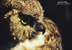 Hooter (Hi-Fi Fotos) Tags: owl stuffed taxidermy california palmsprings sanjacinto mountains state park feathers beak bill face eye animal display aerialtramway forest nikon d5000 hififotos hallewell