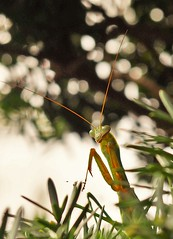 Mantis (eriko_jpn) Tags: insect mantis