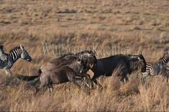 10078077 (wolfgangkaehler) Tags: 2016africa african eastafrica eastafrican kenya kenyan masaimara masaimarakenya masaimaranationalreserve wildlife migration migrating antelope antelopes gnu wildebeestmigration wildebeest wildebeestherd wildebeests zebras plainszebrasequusquagga burchellszebra burchellszebraequusquagga burchellszebras grassland grasslands