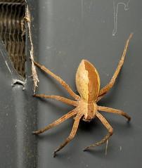 bug of the day - Arachtober! (urtica) Tags: framinghamma ma massachusetts usa franingham night bugoftheday arachtober arachnid arachnida araneae pisauridae pisaurina pisaurinamira nurserywebspider