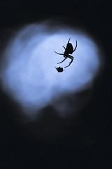 L'ombre (Hexilene) Tags: sigma spider nikon nikonpassion nature nikond750 noir nuit insecte macro macrodreams lumire bokey blueribbon blanc sigma105mm