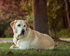 Casey in Autumn-7.jpg (elektratig) Tags: dog dogs labrador yellowlabrador stillwater sussexcounty newjersey