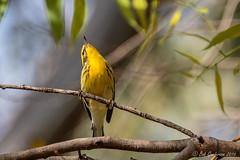 Blackburnian Warbler (Bob Gunderson) Tags: birds blackburnianwarbler california fortmason northerncalifornia sanfrancisco setophagafusca warblers woodwarblers