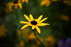 Rudbeckia (October 2016) (Barry Potter (EdenMedia)) Tags: barrypotter edenmedia nikon d7200 rudbeckia