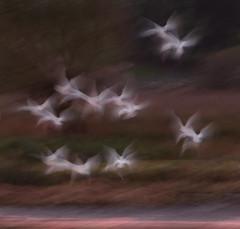 Takeoff (Alan-Taylor) Tags: leightonmoss rspbleightonmoss little egrets blur marmite