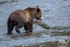 Big Catch (fascinationwildlife) Tags: animal grizzly bear juvenile cub br brown british braunbr salmon fall autumn river bute inlet kanada canada bc columbia predator fish