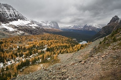 Golden Larch Trees (mimai2007) Tags: larch larchtrees lake hiking trail lakeohara yukonessledgetrail britishcolumbia outdoor autumn fall canadianrockies