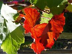 Herbstblatt (Heide56) Tags: herbst weinblatt