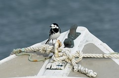 Pied Wagtail (Pam P Photos) Tags: bird piedwagtail nature wildlife
