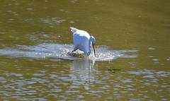 Egret plunge_3154 (Porch Dog) Tags: 2016 garywhittington nikond750 fx nikon200500mm egret willowbay lakebarkley lbl landbetweenthelakes betweentherivers kentucky october autumn bird feathers avian