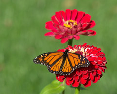 2016-10-26_12-55-00 (kimvisnaw) Tags: butterfly fall kscattails monarch nature overlandparkarboretum zinnia