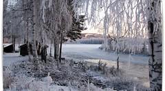 A cold walk to the river (HJsfoto) Tags: winter nature landscape birch musictomyeyes potofgold beautifulphoto almostanything bodträskfors bodträskån