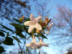 Fiori nel mese di novembre (libra1054) Tags: flowers white flores blanco fleurs flora blossoms blumen bianca fiori weiss blanc blten