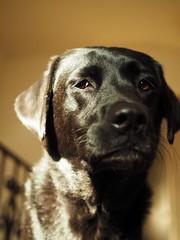 Cima (Scott Fajack) Tags: labrador cima brueggerlabs omdem1 cimadog