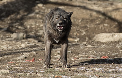 ... (Piefke La Belle) Tags: wolf gray pack lupus canis