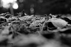 Frozen leaves (Peter O'Doherty (Dublin)) Tags: blackandwhite bw ice leaves photography frozen blackwhite photographer iced frozenleaves nationalbotanicgardens dotsy peterodoherty