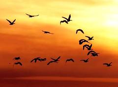 Crane flight (moonjazz) Tags: california sky favorite nature beauty birds photography wings image artistic path flight best cranes sillouette migratory migration soaring inspirational winged swoop sandhill conservancy flckr adouban