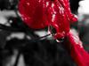 DSC06752(2) (gbelloni1994) Tags: red flower color water rain agua flor chuva vermelho onecolor gota cor redflower raindrop florvermelha dramaticcolor gotadechuva enfase unicacor