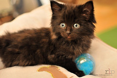 #6: Learning to play (Random Life Project) Tags: cats animals feline kitty kittens kitties ehs adoption shelteranimals fostering edmontonhumanesociety fosteranimal