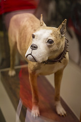 Sgt. Stubby '14 (R24KBerg Photos) Tags: dog history animal museum canon washingtondc smithsonian wwi canine exhibit worldwari 2014 nationalmuseumofamericanhistory nmah georgetownhoyas sergeantstubby