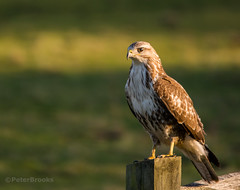 Common Buzzard (buteo buteo) (PeterBrooksPhotography) Tags: uk winter wild sun bird fence sussex post wildlife raptor perched eastsussex buteobuteo eveninglight commonbuzzardbuteobuteo