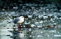 Frozen (BrianReid) Tags: park bird canon eos scotland frozen is pond aberdeen 7d l usm 300 ef f4 duthie