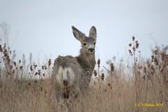 December 14, 2014 - A mule deer doe at the Rocky Mountain Arsenal. (Ed Dalton)