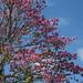 Árvores de floração rosa