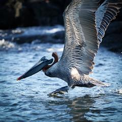 Galapagos-20140714-1812-BK2W6409-Edit (Swaranjeet) Tags: pelican pelicans galapagos ecuador bird largebirds july2014 canon fullframe 1dx eos1dx dslr sjs swaran swaranjeet swaranjeetsingh sjsvision sjsphotography swaranjeetphotography 2014 eos canoneos1dx 35mm ef pro 200400 canonef200400mm canonef200400mmf4lisusm14x singh photographer thane mumbai india indian