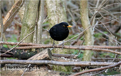 Blackbird (Huddsbirder) Tags: england unitedkingdom panasonic blackbird rspb oldmoor boltonupondearne fz1000 huddsbirder