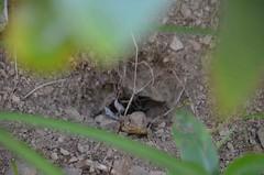 Gecko dans sa cachette