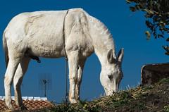Daydreaming (eldelfraval) Tags: winter espaa horse fauna caballo grey spain gray pferd stallion spanien schimmel axarquia caballoblanco daimalos pentaxk30