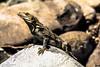 Garrobo (Ctenosaura Similis) (bryanbf89) Tags: costarica lizard iguana puntarenas reptil garrobo ctenosaurasimilis